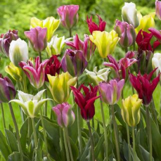 Tulip - Mixed Vridiflora